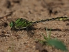 Ophiogomphus cecilia - Großlibellen - Flussjungfern