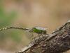 Ophiogomphus cecilia - male