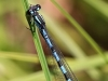 Coenagrion hylas - male / by Kathrin Zander from Bavaria