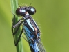Coenagrion hylas - male sign at S2 / by Kathrin Zander from Bavaria