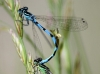 Coenagrion ornatum - tandem / by Kathrin Zander from Bayern