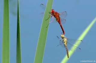 Crocothemis erythraea male Tandem with Sympetrum sp. / by Jörg Turk from Hessen
