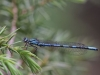 Coenagrion hylas, male 1 / by Mike Lange