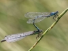 Coenagrion ornatum - tandem / by Mike_Lange_4