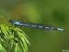 Coenagrion hylas, male / by Norbert Steffan