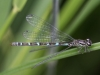 Coenagrion ornatum - copula / by Mike Lange from Sachsen_2