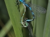 Coenagrion ornatum - copula / by Mike Lange from Sachsen_5