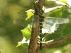 Macromia splendens - female W2/ by Bernhard Herren aus Langnau im Emmental