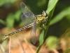 Gomphus flavipes - female- pressing eggs_IMG_4795_1300