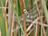 Anax parthenope - male_3_IMG_4093