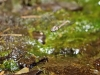Orthetrum chrysostigma - female ovipositing _IMG_3831