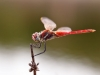 Sympetrum fonscolombii - male _IMG_3906