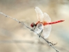Sympetrum fonscolombii - male _IMG_3961