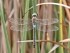 Anax parthenope - male_1_IMG_4162