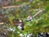 Orthetrum chrysostigma - female ovipositing _IMG_