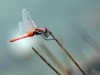 Sympetrum_fonscolombii - male / by: my wife, Sylvia Schulz