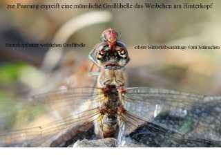 Cerci-Kopula-Anisoptera