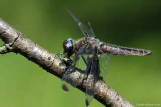 libellula-fulva- mit Beute