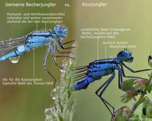 Artbestimmung Becherjungfer vs. Azurjungfer