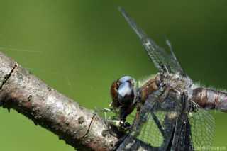 libellula-fulva-Weibchen verspeist Zygoptera