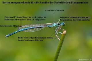 merkmale_federlibellen-platycnemidae