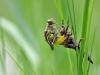 Flussjungfern haben sich an ihren Lebensraum angepasst. Wird ein Fließgewässer von Vegetation umsäumt, wird diese genutzt und die Libelle verankert sich Senkrecht , wie es am Beispiel der Segellibellen gezeigt wurde.