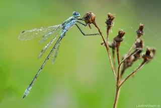 Lestes sponsa - male - img_0793