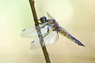 Libellula quadrimaculata female - Anisoptera - Libellulidae