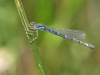 Coenagrion scitulum - female 1_IMG_1412