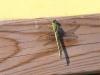 Gomphus pulchellus - female_IMG_0945