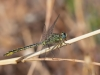 Gomphus pulchellus - male_IMG_0956