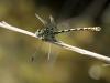 Onychogomphus forcipatus ssp. unguiculatus - male_IMG_0540