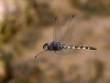 Zygonyx torridus - male_IMG_0625