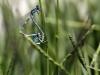Coenagrion caerulescens - copula_IMG_0662