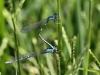 Coenagrion caerulescens - precopula_IMG_0670