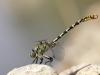 Onychogomphus forcipatus ssp. unguiculatus - male_IMG_0797