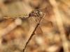 Orthetrum coerulescens - female_IMG_0949