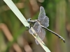 Gomphus simillimus - male_IMG_1130