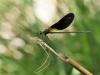 Calopteryx haemorrhoidalis - male _IMG_1187