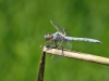 Orthetrum nitidinerve - male_IMG_1482