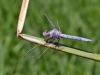 Orthetrum nitidinerve - male_IMG_1529