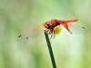 Trithemis kirbyi - male_IMG_1612