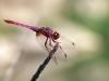 Trithemis annulata - male_IMG_1648