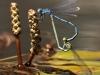 Erythromma lindenii - copula_IMG_1708