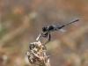 Selysiothemis nigra - male_IMG_1762
