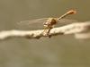 Onychogomphus costae - male_IMG_1862