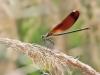 Calopteryx haemorrhoidalis - female IMG_2345