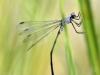 Lestes macrostigma - Tandem - Malaga IMG_2455