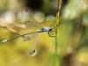 Lestes macrostigma - male - Malaga IMG_2463