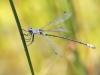 Lestes macrostigma - male - Malaga IMG_2476